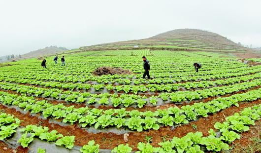 贵州春天蔬菜图片