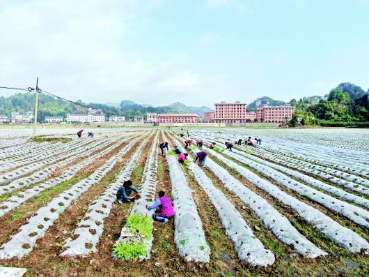 贵州遵义松林镇:因地制宜 巧种蔬菜水果致富